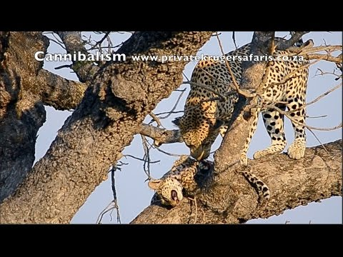 Cannibalistic Leopard (Leopard eating Leopard video clip) in Kruger National Park