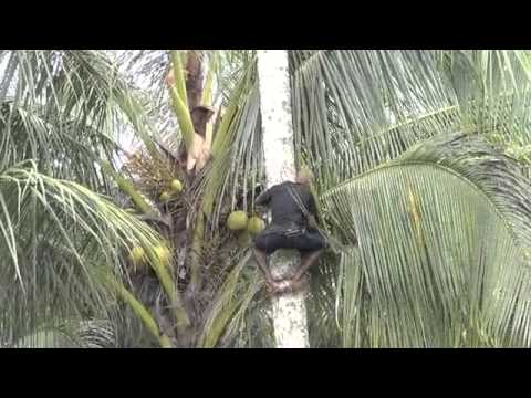 Cutting Coconut Trees