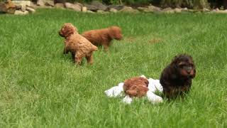 Cockapoo Puppies For Sale Martha Stoltzfus