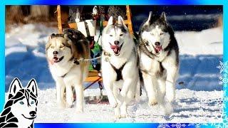 DOG SLEDDING ADVENTURE | GoPro Hero5 Black GoPro Karma Grip