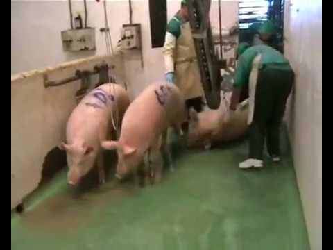 macellazione maiali