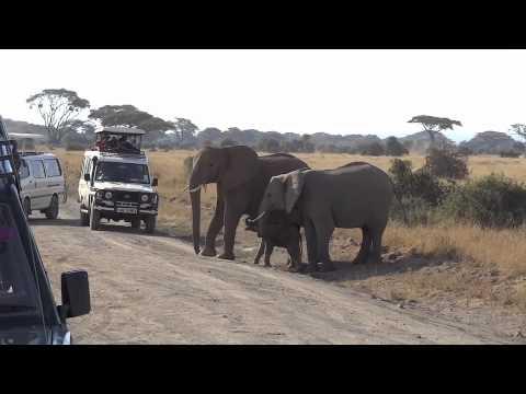Newborn Elephant in Amboseli National Park Trying to Cross the Road, Kenya