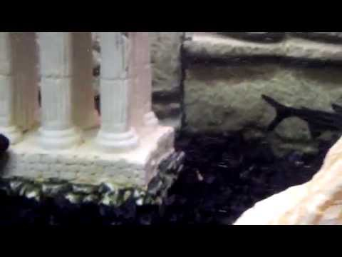 My 60 Gallon Freshwater Tank , With Massive Blue Crayfish , Catfish Ect...
