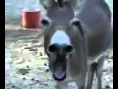Donkey Laughing Funny video