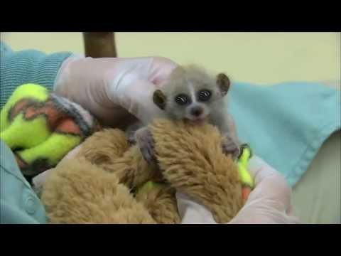 Sloths & Slow Loris Compilation