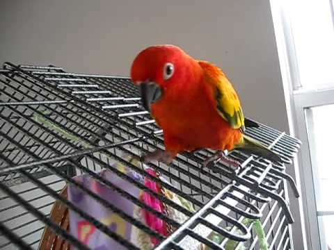 Sunkiss red factor sun conure shaking head no youtube