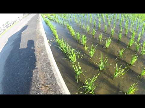 GoPro Japan: 田んぼの散歩 Walking in the rice field