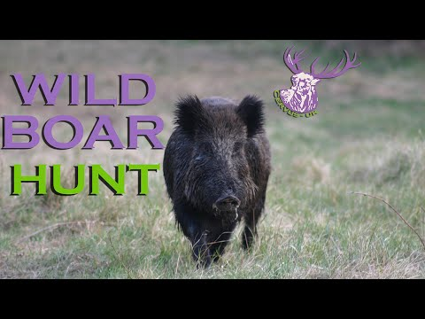Medal Class Czech Wild Boar Hunt video