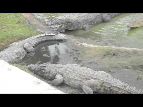 crocodile eating man live