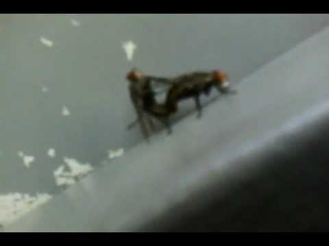 mosca transando cangaiba  z/l