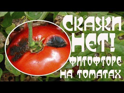 Чернеют томаты? Борьба с фитофторой/Личный опыт/Домик в селе