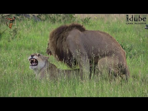 WILDlife: Lions Mating In The African Savanna (4K Video) thumbnail