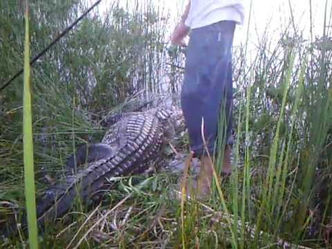 Alligator hunt in Lake Okeechobee,Fl.