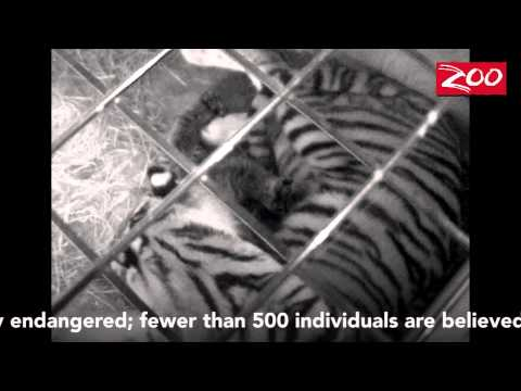 Amur Tiger Cubs Born at the Columbus Zoo and Aquarium