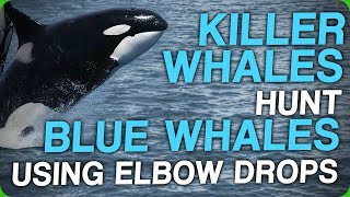 Killer Whales Hunt Blue Whales Using Elbow Drops