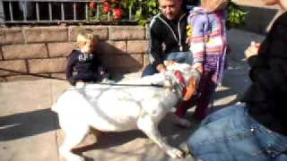 ADOPTED - Spanky -  CHILDREN FRIENDLY  English Bulldog / Pointer mix URGENTLY needs home