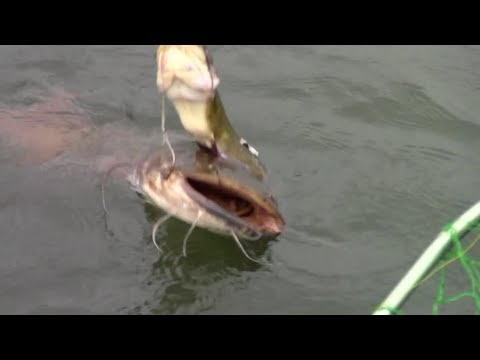 Flathead catch on a live bullhead. 2-hook rig - Susquehanna
