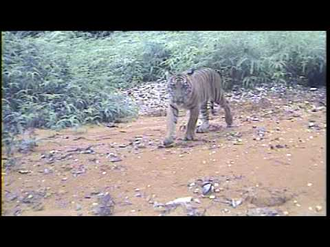 Sumatran Tiger - Tesso Nilo camera trap captured