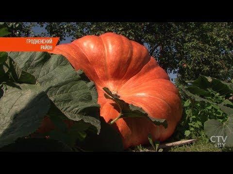 Тыкву весом 400 кг вырастил житель Гродно
