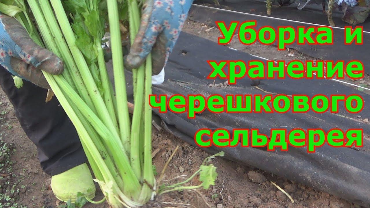 Сельдерей черешковый в сибири выращивание и уход 82