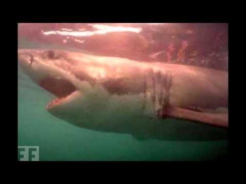 Акули/Sharks