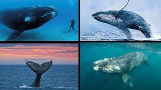 AS MAIORES BALEIAS DO MUNDO!!! CONHEÇA AS 10 MAIORES ESPÉCIES DOS GIGANTES DOS OCEANOS!