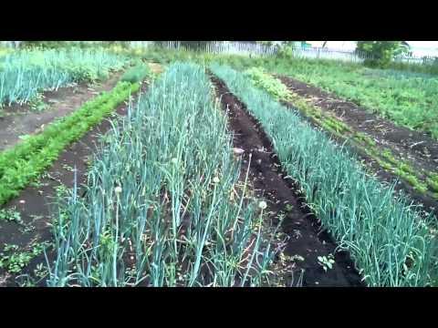 Выращивание лука на репку как бизнес 20