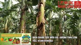Bán chuối tây hữu cơ giống Thái lan