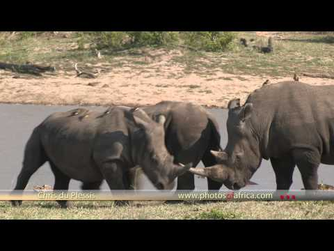 Rhinos at Dam HD - South Africa Travel Channel 24 - Wildlife