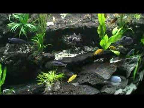 planted 80 gal euro aquarium, african cichlid, custom built 3d background.
