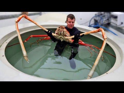Spider Crab Size WORLD S BIGGEST CRABS