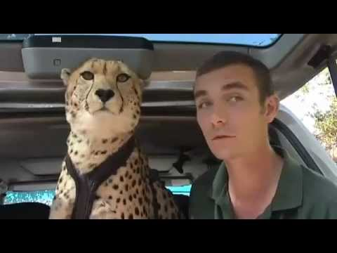Rabbit hunting in Essex with a cheetah