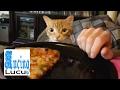 KUCING LUCU -kucing lucu banget bikin ngakak 2017