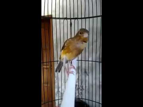Kenari gacor full isian Lovebird durasi 1 menit
