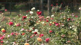 Vijayanagaram - Largest rose garden in India at Ooty, Tamil Nadu
