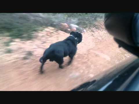 STAFFGOLD BRUCE LEE STAFFORDSHIRE BULL TERRIER STAFFY DOG TRAINING PERRO STAFFIE.wmv Image 1