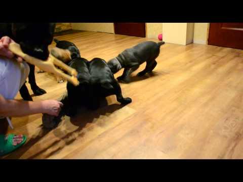 Ребенок и собака кане корсо