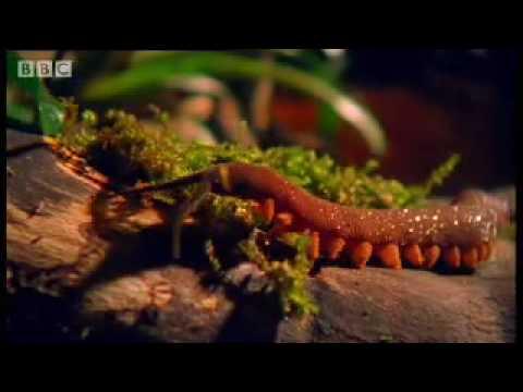 Archer Fish Water Pistol - Weird Nature - BBC wildlife