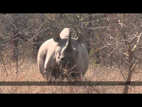 Black Rhino on foot - South Africa Travel Channel 24