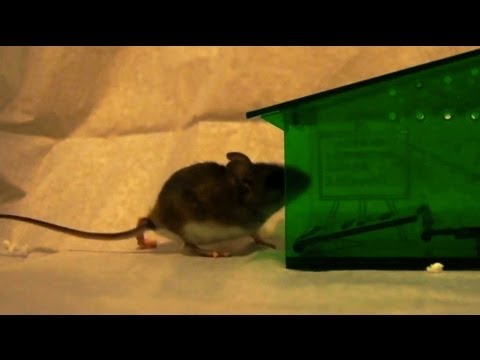 Humane mousetrap in slow motion