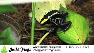 Why NOT to MIX Dart Frogs