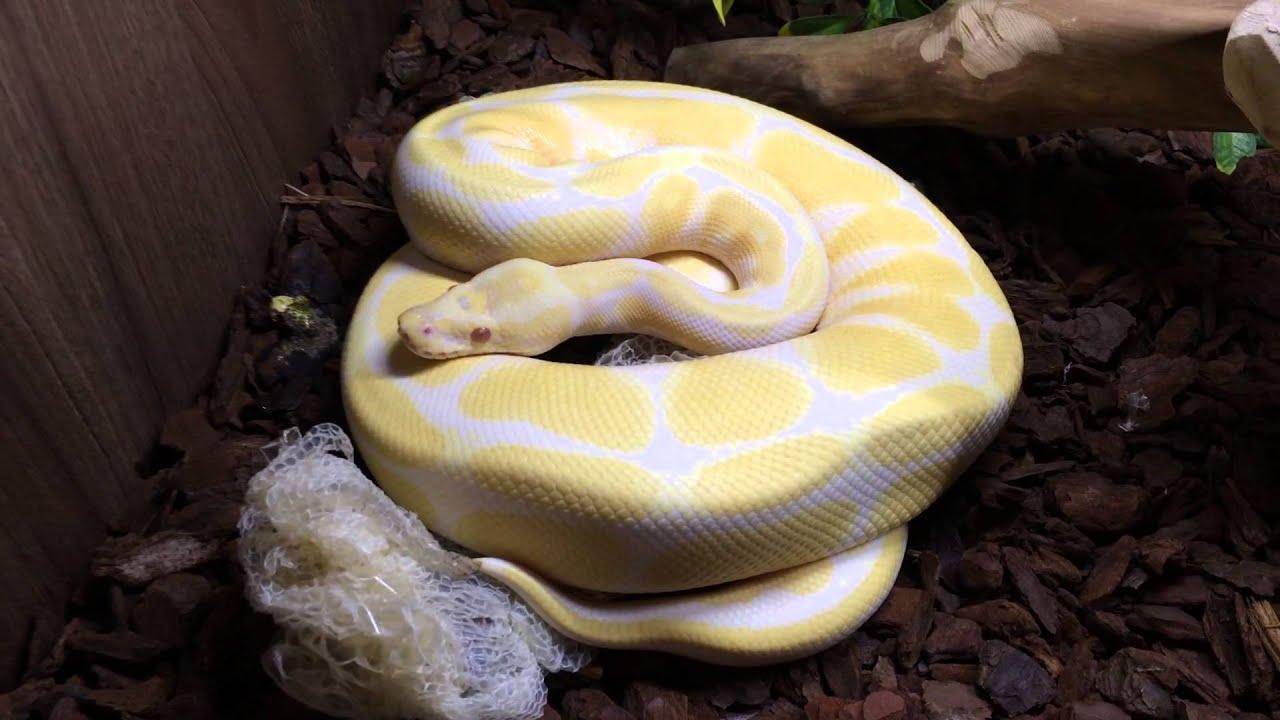 Full grown ball python teeth
