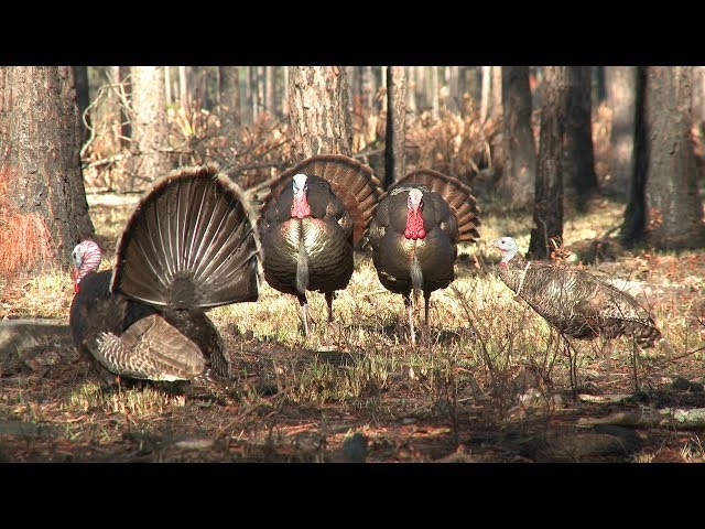 Turkey Hunting: Gobblers Destroy Decoy, Steal its Head