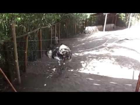 videos graciosos.. la avestruz
