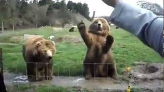 Bears Wave For Candy - Funny Video