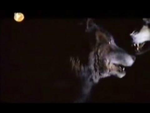 Bozkırın Gücü 4. kısım ( Sivas Kangal Köpeği Belgesel )