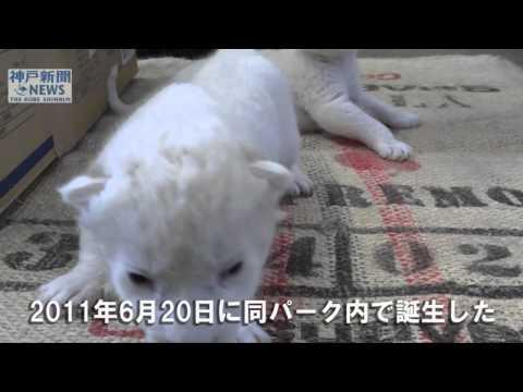 「ホワイトライオン」の赤ちゃん誕生 姫路