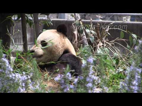 王子動物園のパンダ Panda in Kobe Oji Zoo