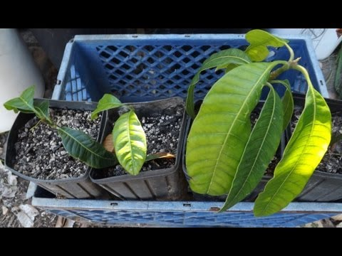 How To Grow A Mango Tree From Seed. video
