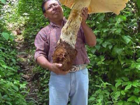 One Weekly Gun - Magic Mushroom
